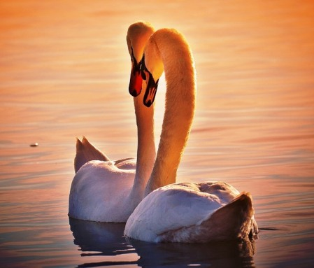 swans-1118903_960_720