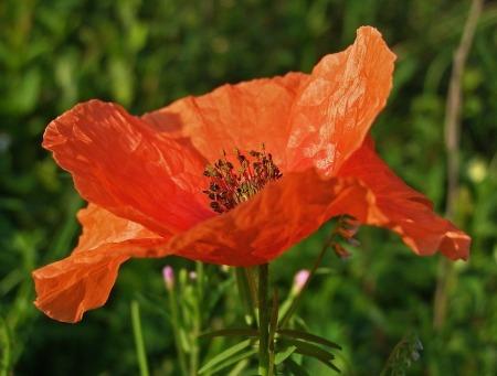 poppy-1385738_960_720
