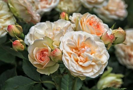 roses-1435150_960_720