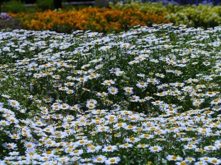 daisy-1337097_960_720