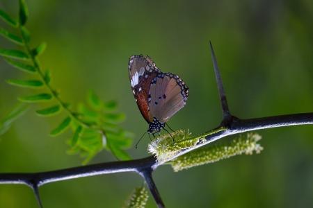 monarch-butterfly-1470558_960_720