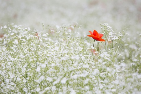 poppy-1128683_960_720