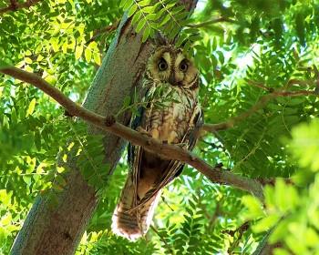 owl 300