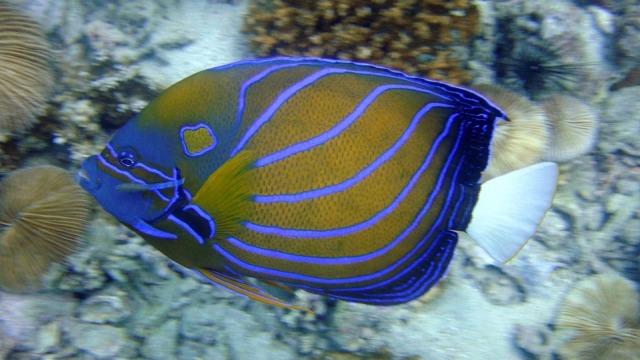 angelfish-202325_960_720