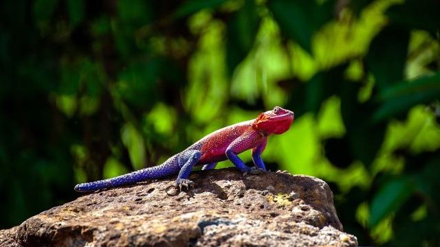 chameleon-4121948_960_720.jpg