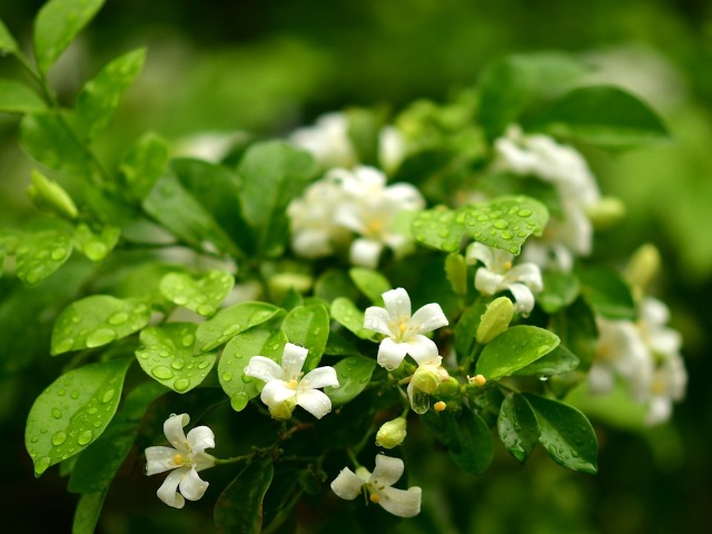 orange-jasmine-3951898_960_720