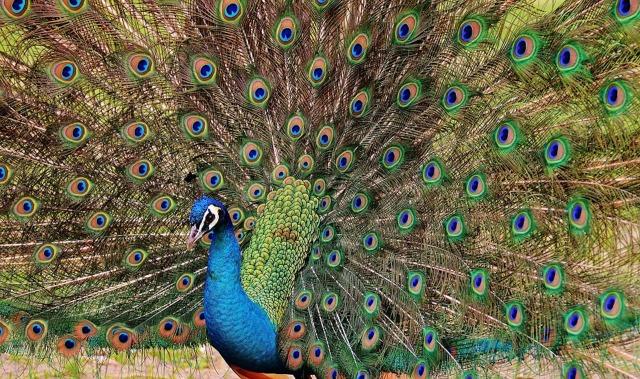 peacock-1312431_960_720.jpg