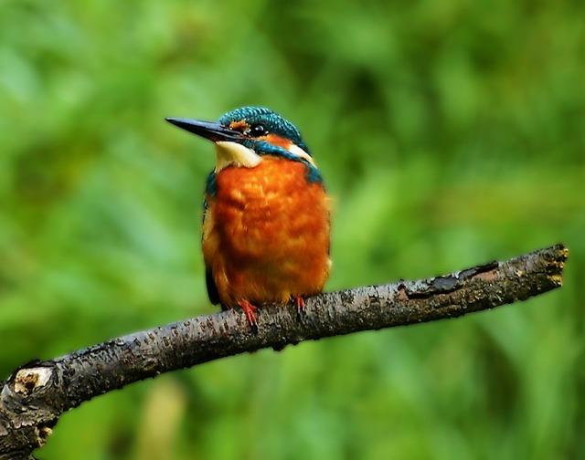 the-kingfisher-3431731_960_720